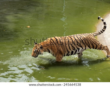 Royal bengal tiger - stock photo