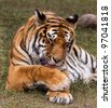 Royal Bengal tiger cleaning fur - stock photo