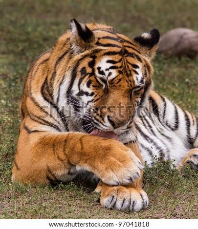 Royal Bengal tiger cleaning fur - stock photo