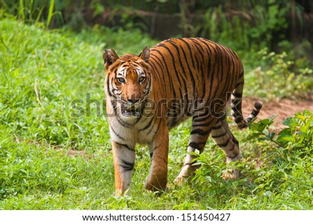 Royal bengal tiger. Sundarban National Park. India