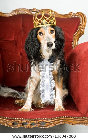Royal dog: mixed breed dog with crown sitting in a red velvet sofa - stock photo