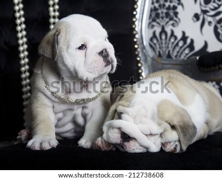 Royal english bulldog dog puppies on a chair - stock photo