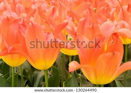 royal gift tulip, netherlands, close up of yellow orange  tulips at important flower park in netherlands, shot in springtime at blossoming peak
