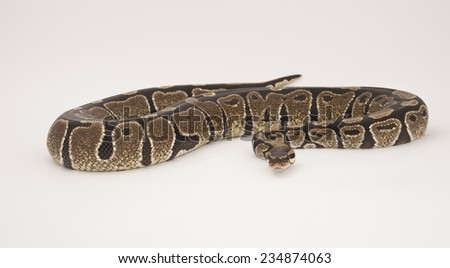 Royal or Ball Python in studio against white background.