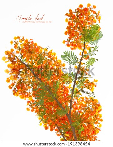 Royal Poinciana, Flamboyant, Flame Tree,  isolated on white background - stock photo