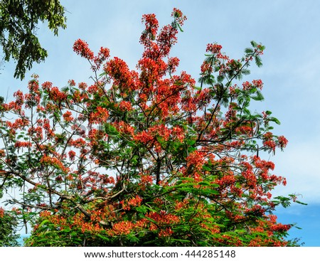 Royal Poinciana flower with cloudy sky