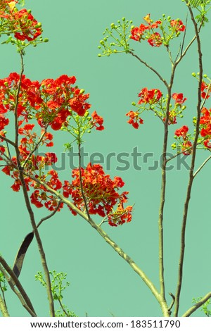 Royal Poinciana or Flame tree, tropical red flower in summer in retro color style - stock photo