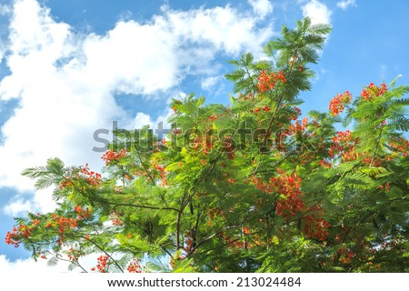 Royal Poinciana tree against blue sky as background. always call as Flame Tree or Peacock Flower - ( Delonix Regia ) - stock photo
