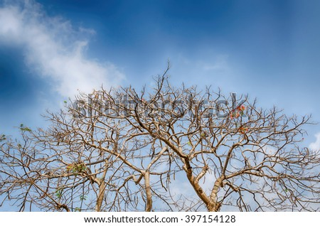Royal Poinciana Tree  and sky with clouds,Thailand - stock photo