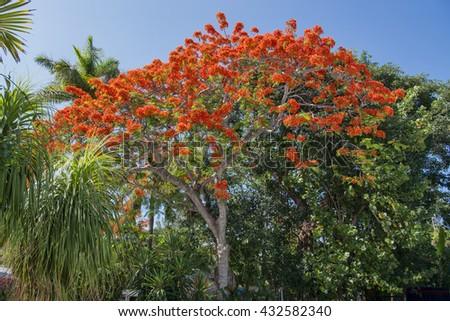Royal Poinciana Tree on Sanibel Island, Florida - stock photo