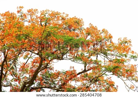 Royal Poinciana tree on white background - stock photo