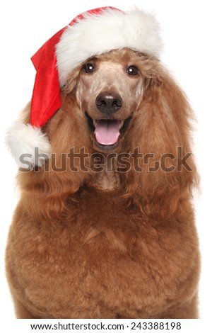 Royal poodle in Santa red hat on white background