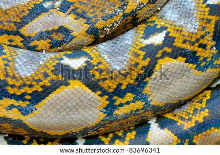 Royal python - stock photo