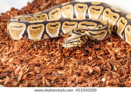 Royal python bedding close up picture in terrarium  - stock photo