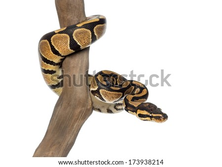 Royal python on a branch, Python regius, isolated on white - stock photo