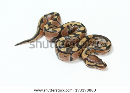 Royal Python, or Ball Python , in studio against a white background. - stock photo