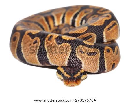 Royal python Python regius isolated - stock photo