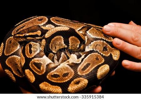 Royal python (Python regius) presented during animal show. Curled into a ball due to stress - stock photo