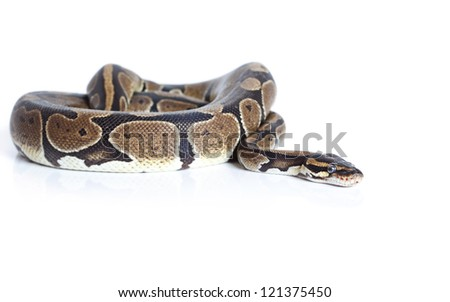 Royal Python snake in studio against a white background - stock photo