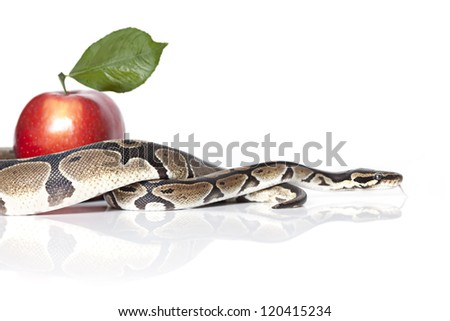 Royal Python with red apple on white background - stock photo