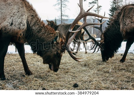 Royal red deer buck with antlers - stock photo