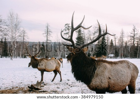 Royal red deer buck with antlers look at forest - stock photo