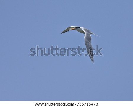 Royal Tern, adult, in flight against a blue sky, Oualidia, Morocco.