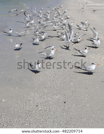 Royal Terns on the Shore