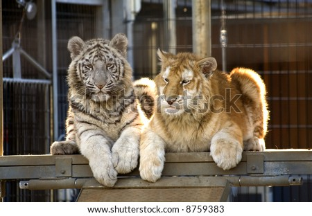 Royal White Tiger Cub and Golden Bengal Tiger Cub.  There are only 300 Royal White Tigers in the World and very few Golden Bengal Tigers. - stock photo
