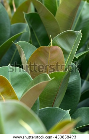 Rrubber fig's big green leaves (Ficus elastica)
