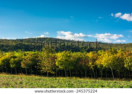 Rubber farm under blue sky in countryside of Thailand - stock photo