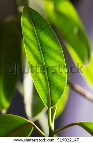 Rubber fig's big smooth green leaf (Ficus elastica)