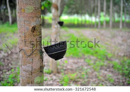 Rubber flows from the rubber tree into the cup  - stock photo
