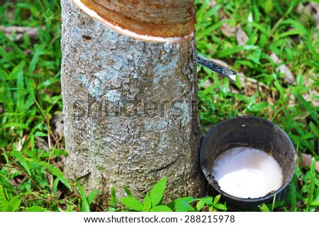 Rubber latex of rubber tree.