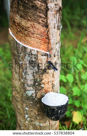 Rubber Latex overflow extracted from rubber tree , (Hevea Brasiliensis) as a source of natural rubber