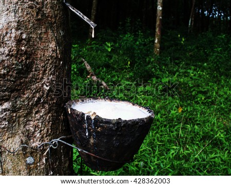 rubber milk in the bowl from rubber tree