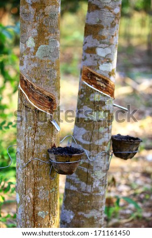 rubber plantation in Thailand - stock photo