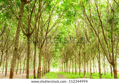 Rubber plantation in the southern, Thailand