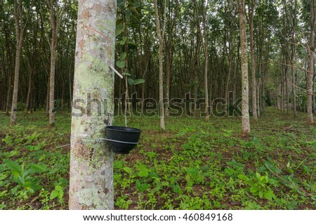 rubber plantation rubber tree