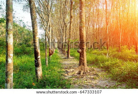 rubber plantations, with lighting flare