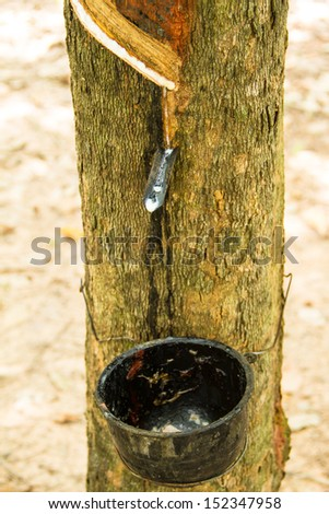 rubber that come out from tree call Hevea Brasiliensis