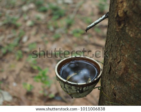 rubber tree in garden with rubber cup in rain season