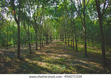 rubber tree parkland