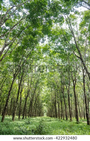 Rubber tree plantation with rows of cultivate, South of Thailand.