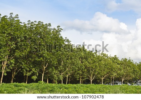Rubber trees afforestation next to the cassava field, Thailand