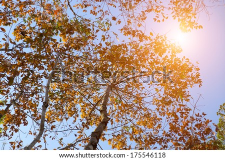 Rubber trees are deciduous