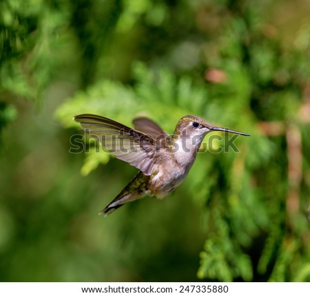 Ruby Throated Hummingbird, an in flight female hovering around looking for mosquitos to eat in the boreal forest in northern Quebec. these birds come to breed in the summer and migrate south in winter - stock photo