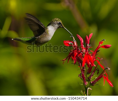Ruby-throated Hummingbird (Archilochus colubris) - stock photo