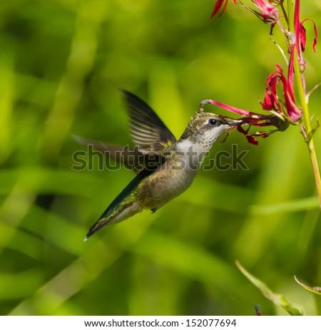 Ruby-throated Hummingbird (Archilochus colubris) - stock photo