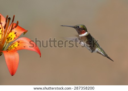 Ruby-throated Hummingbird (Archilochus colubris) hovering next to a wood lily - Pinery Provincial Park, Ontario, Canada - stock photo